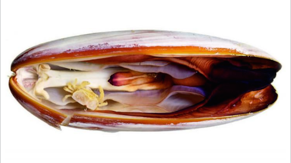 The new pea crab species Serenotheres janus photographed in its date mussel host, Zachariah Kobrinsky and David Liittschwager