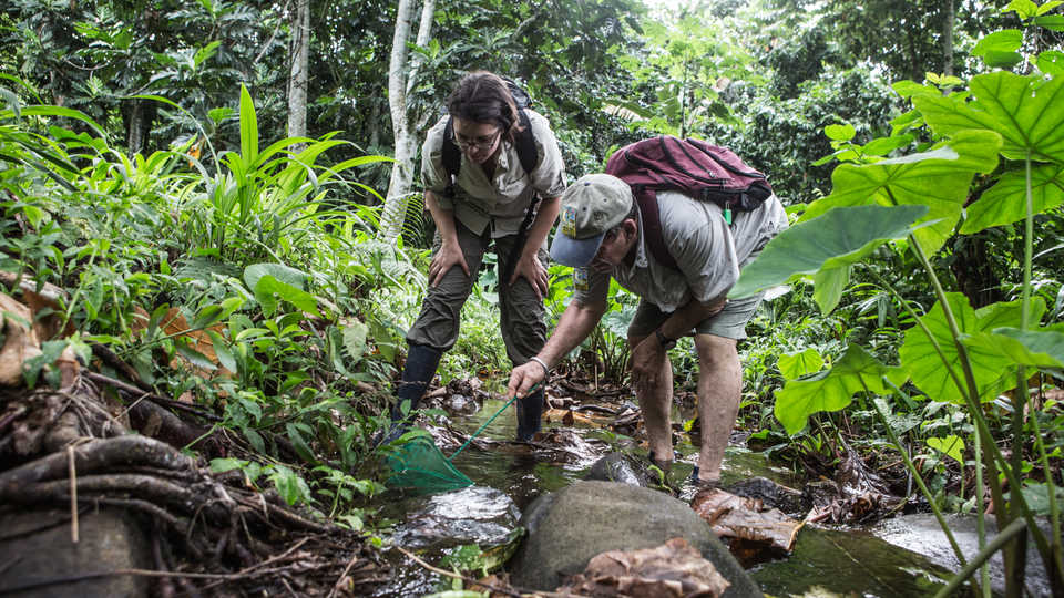 Biologists Bob Drewes and Rayna Bell searching for tadpoles of the Príncipe Giant Treefrog