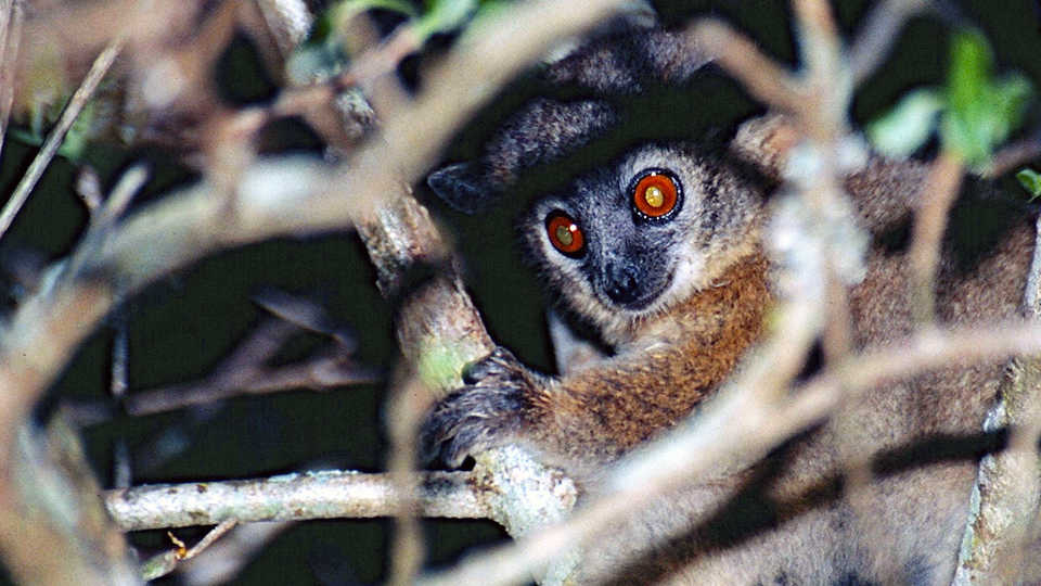 Photo of sportive lemur