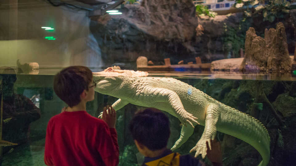Boy looks through the glass at Claude the albino alligator