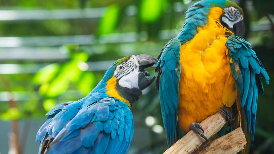 2 macaws play in the Academy rainforest