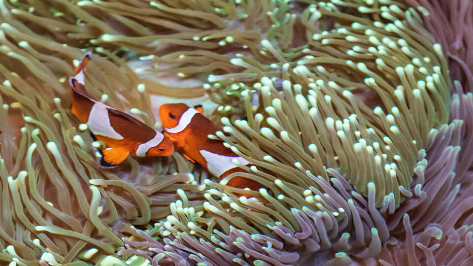 2 clownish cozy up in sea anemone tentacles