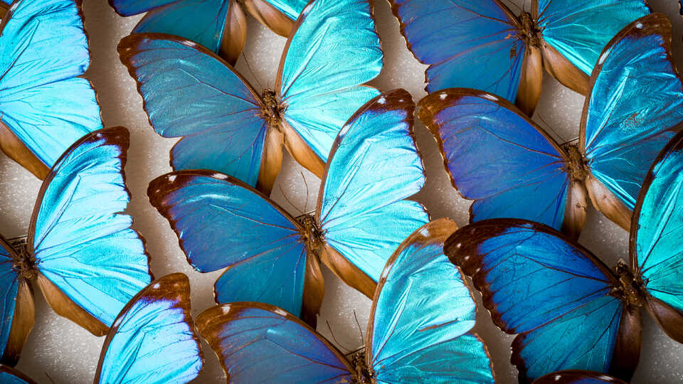 Rows of iridescent blue morpho butterflies in the Academy collections