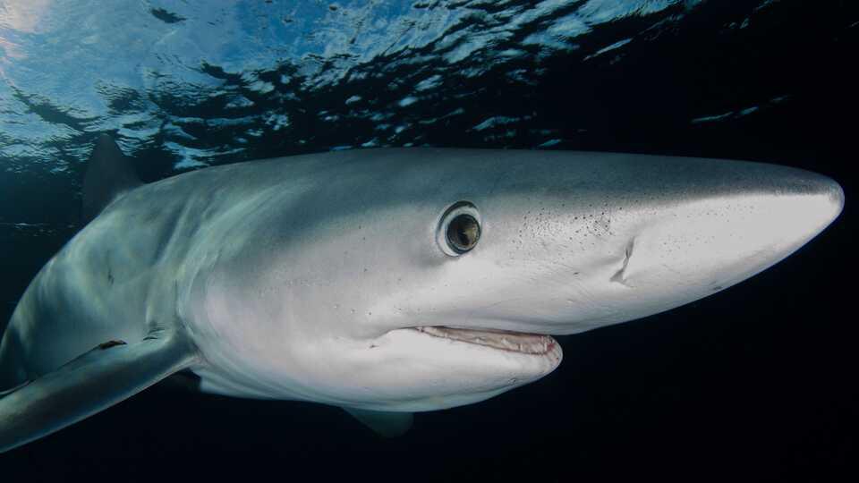 Close-up underwater photo of blue shark head