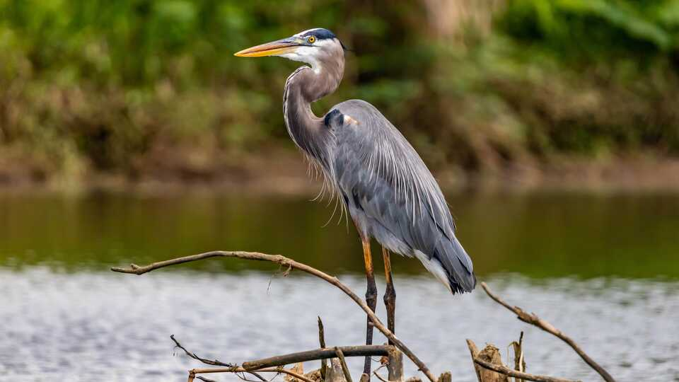 Great blue heron stands in a pond