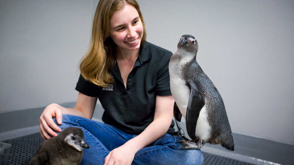 Two juvenile African penguins sit in the lap of Academy biologist