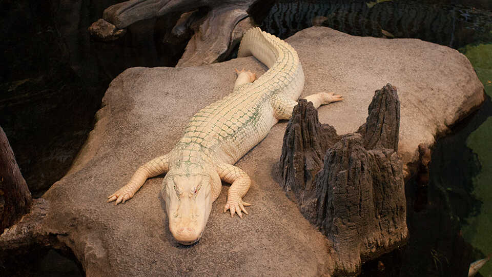 Claude the albino alligator rests on his rock in the Academy's Swamp habitat
