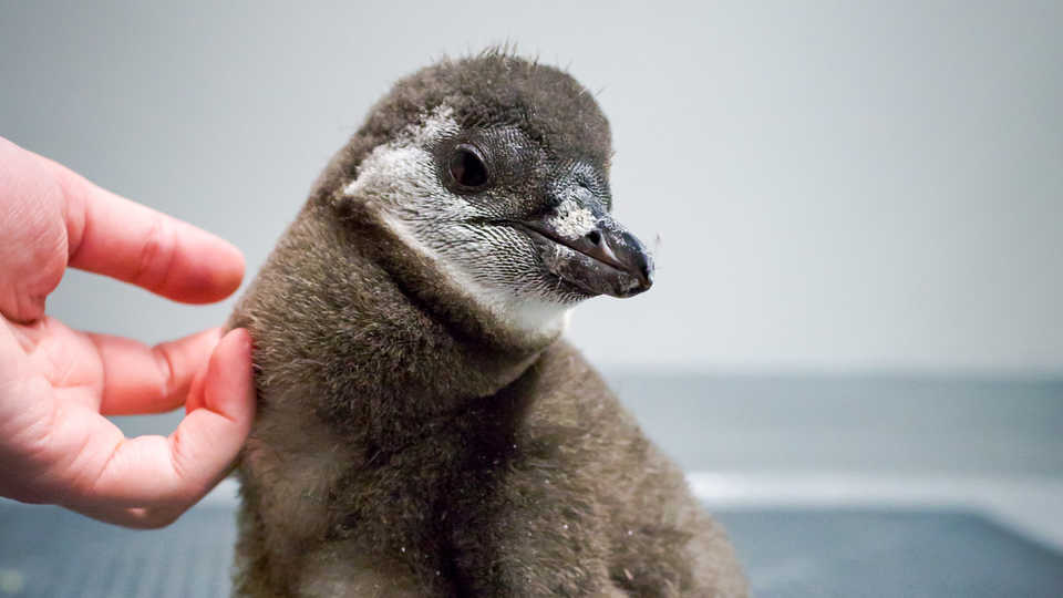 9a0275f1657 Stanlee the African penguin chick gets a scratch from a biologist