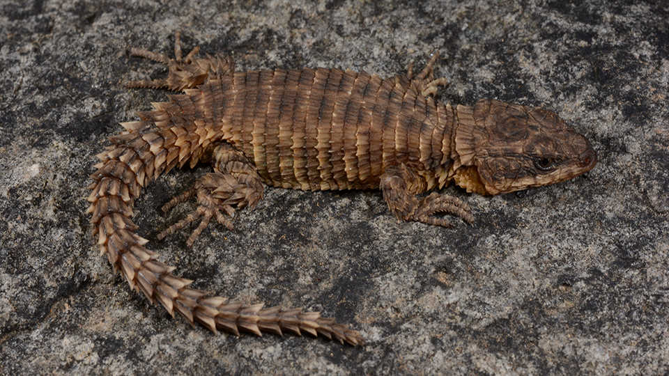 Cordylus phonolithos [© 2019 Ishan Agarwal]