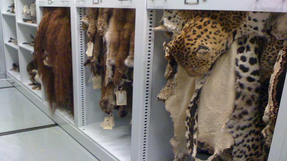 Ornithology Amp Mammalogy Collection California Academy Of