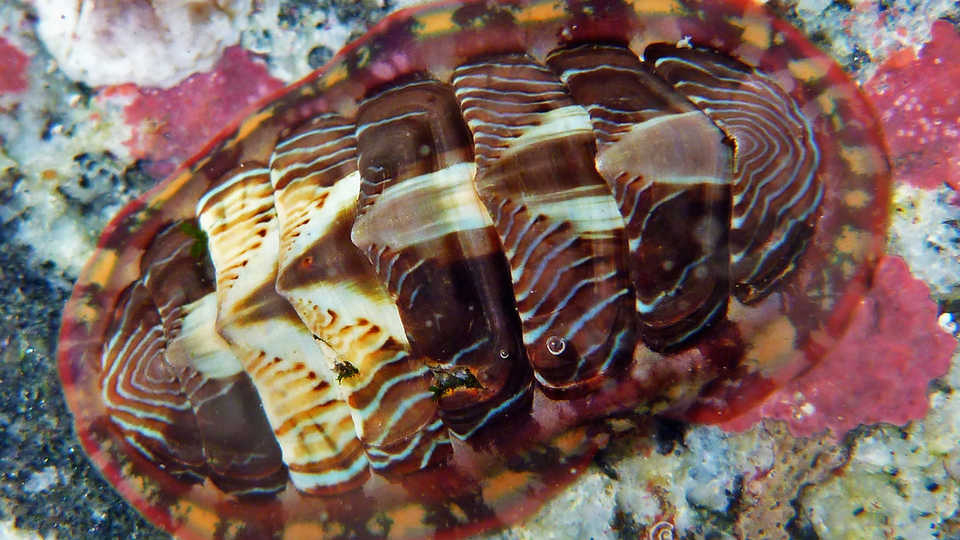 A chiton on rocky substrate