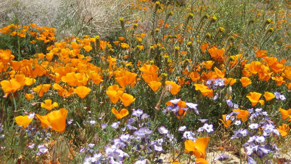 Multicolored wildflowers including orange poppies in a field