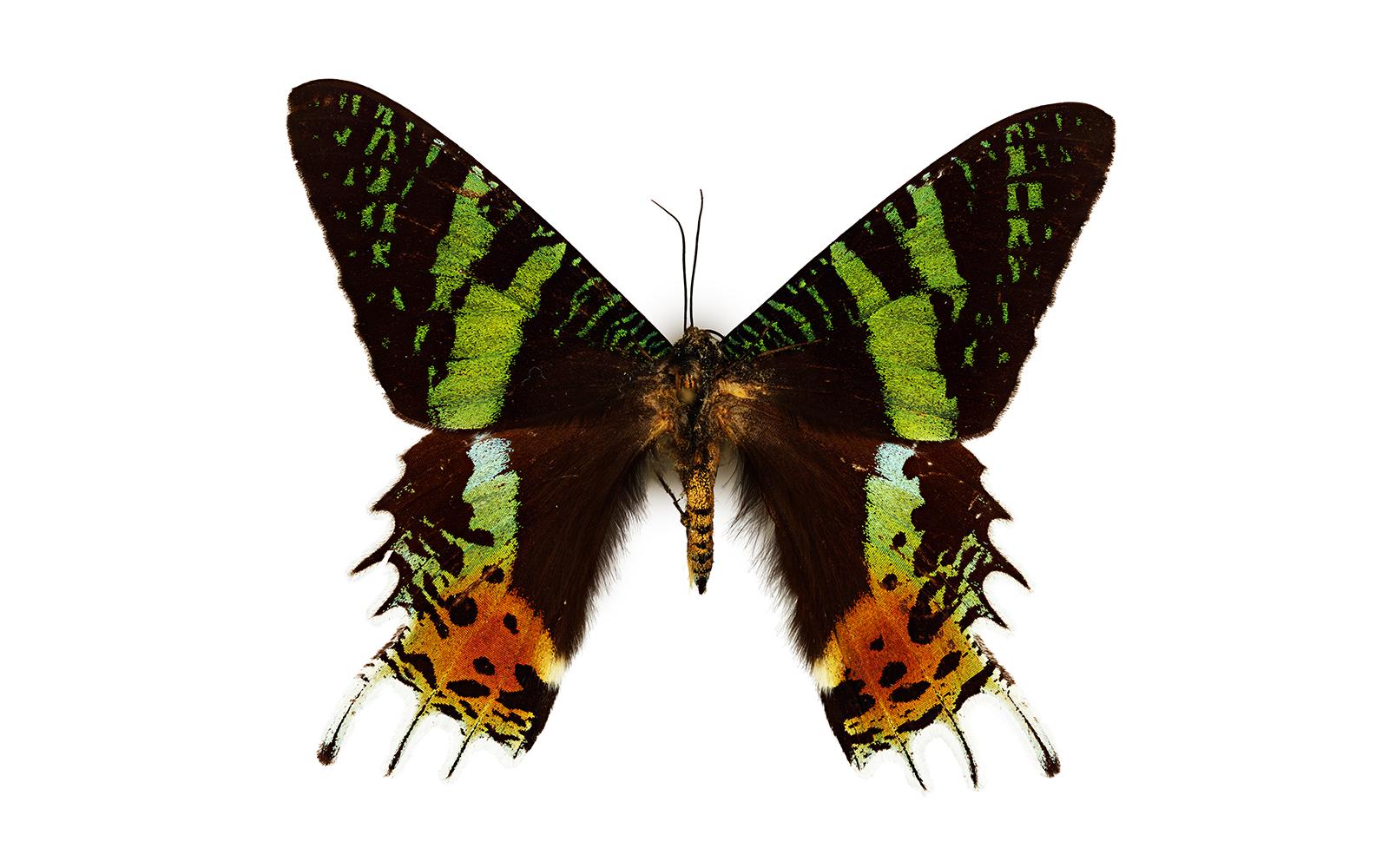 Sunset Moth California Academy Of Sciences