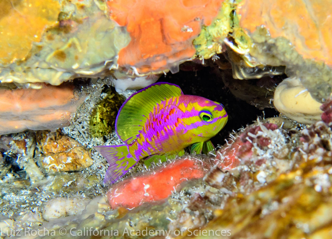 Scientific divers from the California Academy of Sciences discover new species of dazzling, neon-colored fish