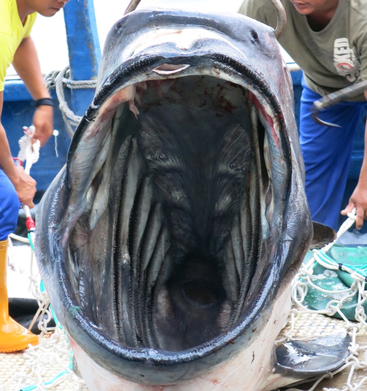 megamouth shark found california academy of sciences